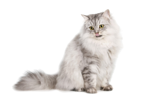 Cat Grooming Services Huddersfield